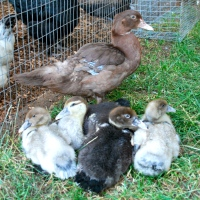 Muscovy Duckling Update