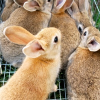 Why I Wean Rabbits at Six Weeks
