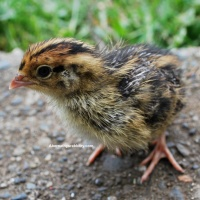 What Color is My Coturnix Quail Chick?