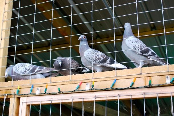 pigeons01