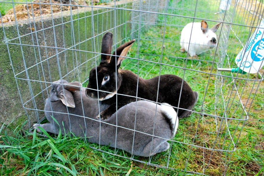 Help! My Meat Rabbits Won't Breed