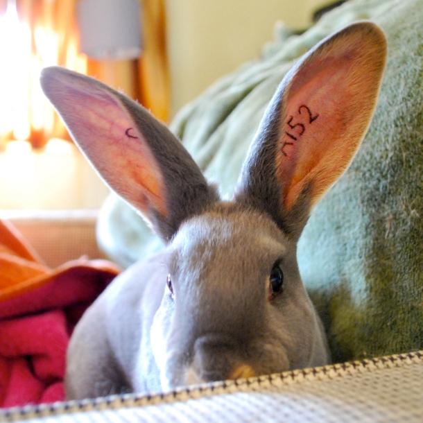 First rabbit tattoos abernathy 39 s rabbitry for Rabbit tattoo kit