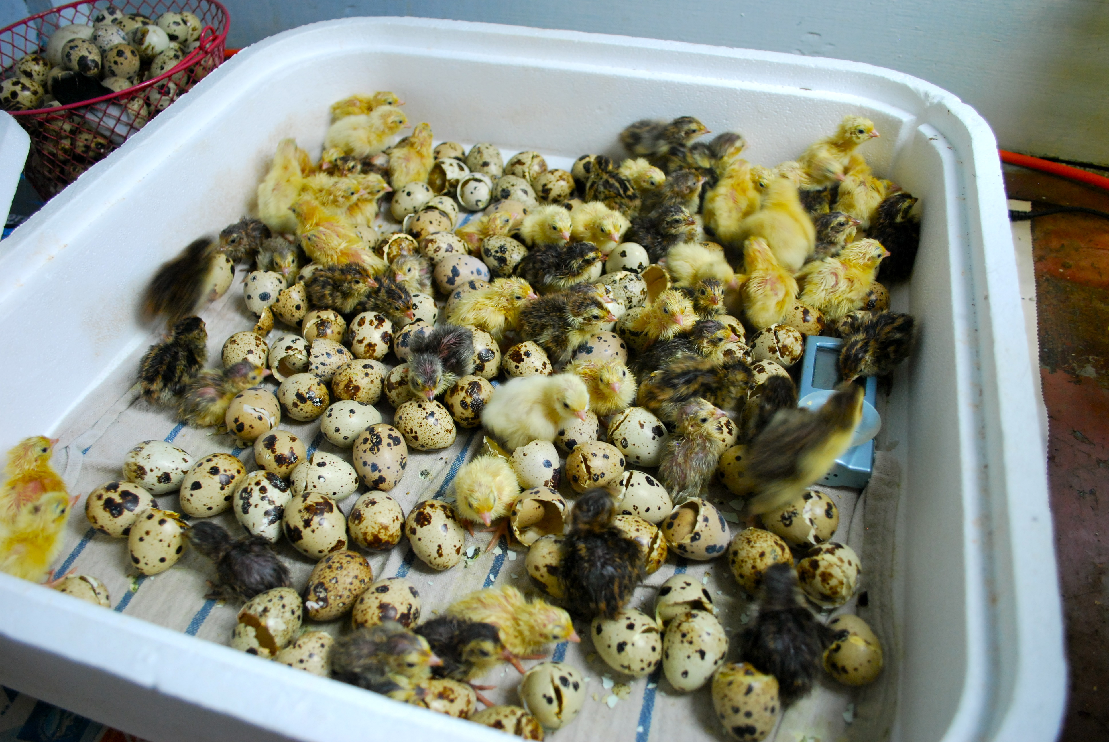 Best Food For Quail Chicks