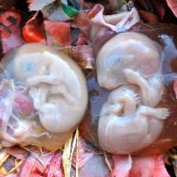 Rabbit Double Pregnancy?