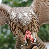 Training Young Raptors