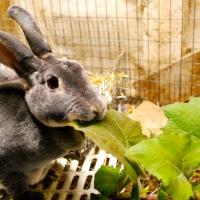 Yacon for Rabbits
