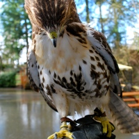 Female Red-Tailed Hawk Up Close