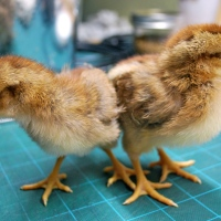 Chicks at 10 Days Old