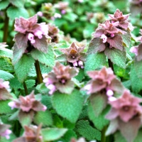Free Rabbit Food: Purple Dead Nettle