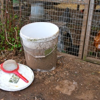 Fermented Grain for Chickens 2.0