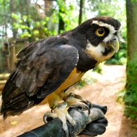 Spectacled Owl - First Free Flight of the Year
