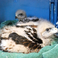 Baby Harris' Hawks