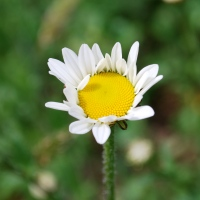 Free Rabbit Food (and People Food): Oxeye Daisy
